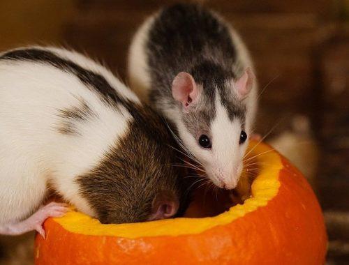 2020 год какого животного крыса